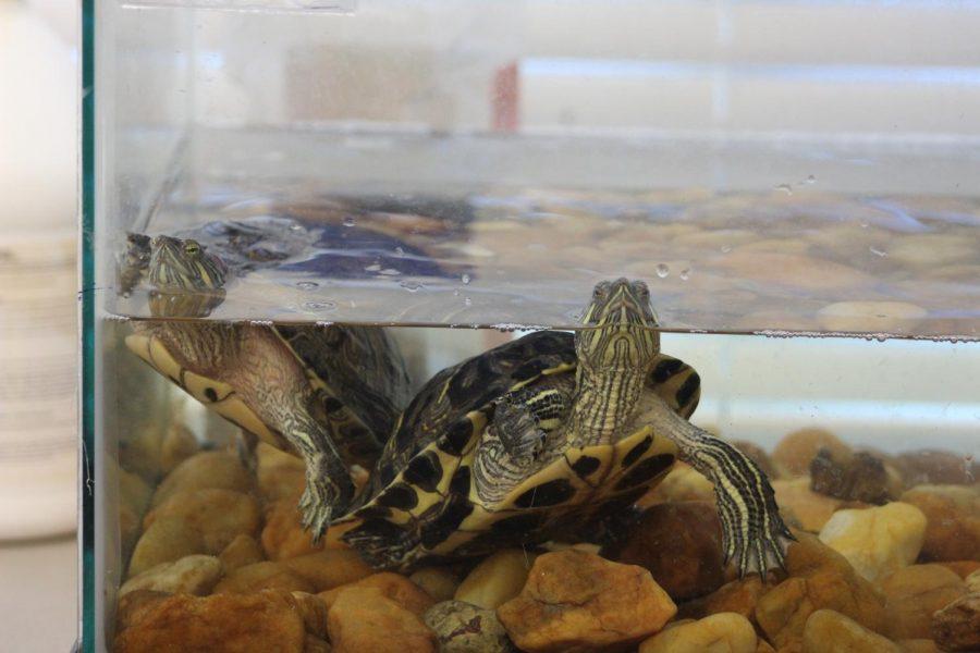 Roberts+Turtle